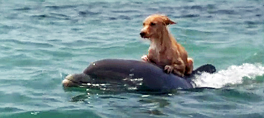 This dolphin comes to shore daily, to take his canine friend for a swim