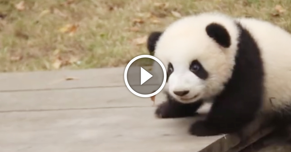 Baby panda crawls onto a picnic table when he turns